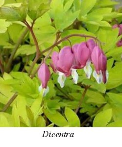 Dicentra gold