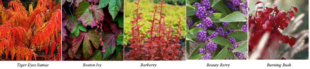 Fall Shrubs1