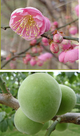 Japanese Flowering Plum Bungo
