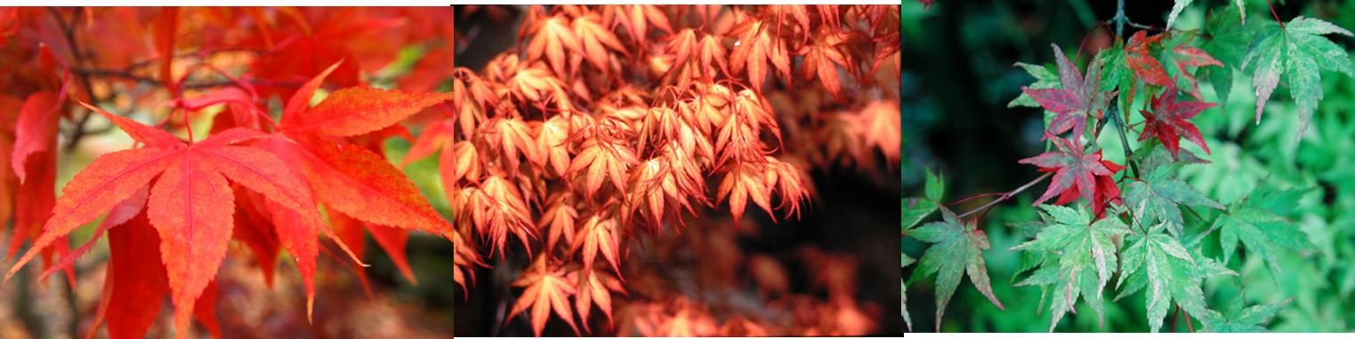 Japanese Maple Trio